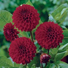 Image result for dahlia night queen nz