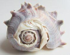 Items similar to Beach Decor Seashell - Striped Conch Sea Shell for Nautical Decor, Beach Weddings or Crafts - Display Sea Shell on Etsy Sea Witch, Shell Beach, Shell Art, Marine Life, Sea Creatures, Under The Sea, The Little Mermaid, Sea Glass, Sea Shells