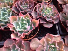 Succulent plant, Echeveria hybrid Christmas Candy Beautiful rosette with rippled large leaves, both green, red and some maroon. Water thoroughly when soil is dry to the touch. Protect from frost.  ave fun creating your own container garden, refresh a garden, bouquets, centerpieces and more.  #Garden#Flowerpot#Succulent Dekor