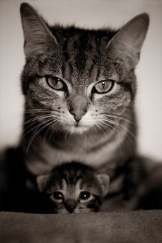 A black and white image of a mother sitting behind her kitten.