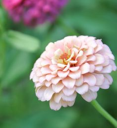 zinnia: thoughts of absent friends..grandfather use to grow beautiful ones..