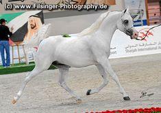 AJ DINAR (*05) (WH Justice x Deska HJE) SHARJAH 2012 Arabian Horse Show * ArabianFlashlights.com * FilCoARt