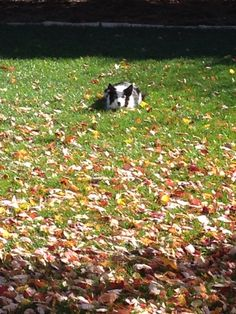 Sadie in her stealth position waiting to herd the falling leaves! Border Collie Pictures, Falling Leaves, Cat Paws, Sadie, Autumn Leaves, Cute Cats, Waiting, Kitty, Dogs