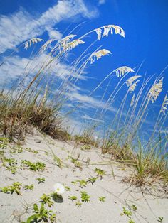 Blue sky over blowing sea oats.