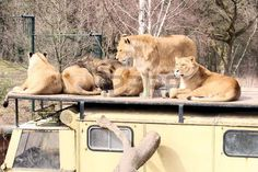 lions resting on an old truck, safari park Beekse Bergen, The Netherlands