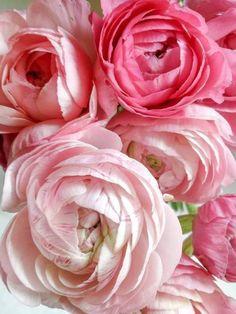 Ranunculas in pink!