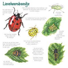 Educatieve wenskaart Lieveheersbeestje, http://iturl.nl/snRFB
