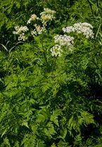 čechřice vonná Myrrhis odorata kvete: květen–červenec výška: 60–120 cm  většinou horské a podhorské louky, vlhké okraje pastvin a cest, břehy potoků a vlhké příkopy  aromatická rostlina vonící po anýzu list Herbs, Plants, Herb, Planters, Plant, Spice, Planting