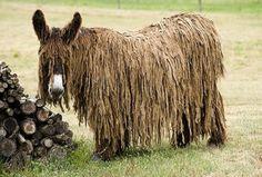 """O """"Poitou Donkey"""" (baudet de Poitou) é um burro muito raro que vive em território francês, introduzidos pelos Romanos, desde o ano 50 A.C. A quantidade desses animais no mundo inteiro não chega a um centena. Sua principal característica é uma pelagem felpuda que se alcança um certo tamanho forma cordões, parecidos com os famosos """"dreadlocks""""."""