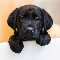 Puppies at the Guide Dog Foundation & America's VetDogs, Labrador Retrievers & Lab/Golden Retriever crosses, Smithtown, NY Black Lab Puppies, Cute Puppies, Cute Dogs, Dogs And Puppies, Doggies, Black Puppy, Perro Labrador Retriever, Labrador Puppies, Retriever Puppies