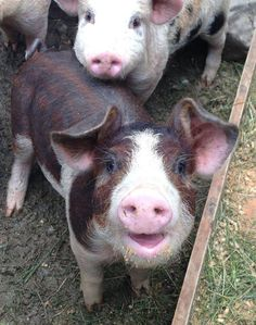 """This lil' piggy is so adorable my heart is melting! Look at those happy eyes, smile and unique coloring, not to mention the cute friend in the background. I dream of adopting a pig.."""
