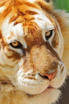 Tigre Vermelho