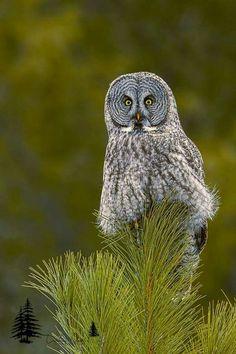 Great Grey Owl, Maine 2017