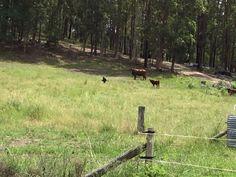 Wedge tail eagles on a kangaroo carcass