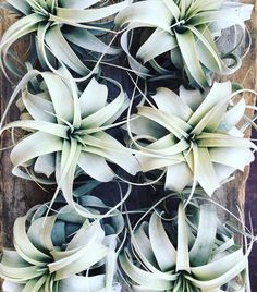 Pretty xerographica plants all in a row :)