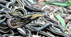 Ученые привыкли считать, что змеи-самцы играют главную роль в половом акте, а самки в основном пассивны, но как же они ошибались!