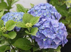 Panicled Hydrangea 'Bela' (Hydrangea paniculata) Hydrangea Macrophylla, Hydrangeas, Bonsai, Iris, Heaven, Garden, Plants, Style, Flowers