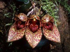 Bulbophyllum Falcatum | Bulbophyllum frostii #2: Bulbophyllum guttulatum #3: Bulbophyllum ...