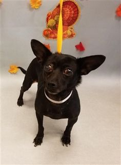 ONYX - 14475 - - Manhattan  TO BE DESTROYED 11/28/17 -  Click for info & Current Status: http://nycdogs.urgentpodr.org/onyx-14475/