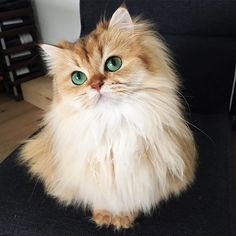 Smoothie may be the most beautiful cat you have ever seen. She is one of the most famous and popular cat in the internet world.