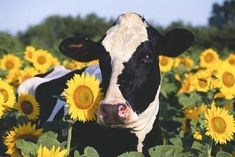 Portrait of Holstein Cow Standing in Sunflowers, Pecatonica, Illinois, USA Cute Baby Cow, Baby Cows, Cute Cows, Cute Baby Animals, Farm Animals, Animals And Pets, Funny Animals, Baby Elephants, Wild Animals