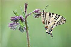 southern swallowtail