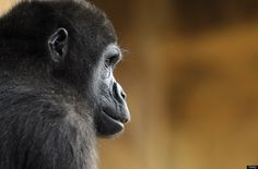 A gorilla male sits in the enclosure 'Gorilla's Camp' at the Amneville zoo, eastern France, on April 04, 2012. Ya Kwanza, a silverback gorilla male, also arrived with seven other gorillas from other western zoos, as part of a the European breeding of Endangered species.