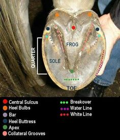 Knowing the parts of the hoof can help you communicate with your farrier better. Cave Creek Equine.