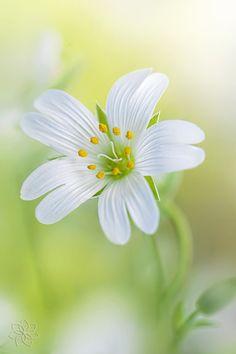 Flickr:  pastel ... Greater Stitchwort Flower.