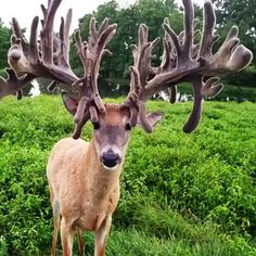 White-tailed deer with a huge rack of antlers! Whitetail Deer with a huge antler rack ! Funny Animal Videos, Cute Funny Animals, Cute Baby Animals, Nature Animals, Animals And Pets, Beautiful Creatures, Animals Beautiful, Animals Amazing, Tier Fotos