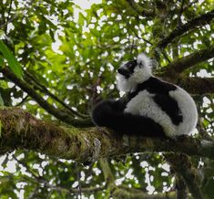 Their calls can be heard miles away but finding them in the thick rainforest of Ranomafana NP wasn't easy. Running up and downhill, having to find a way off track through thick vegetation but our fantastic guide William made it happen! Black and white ruffed lemur in the primary rainforest 😍  Follow @work.sleep.travel.repeat  #lemur #madagascar #ranomafana #africa #safari #wildlife #travel #traveling #vacation #visiting #instatravel #instago #instagood #trip #holiday #photooftheday #fun… Fun Travel, Lemur, Madagascar, Panda Bear, Repeat, Safari, Wildlife, Traveling, Track