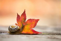 Ooh…that's autumn! Yes, I know a snail is not a insect. Autumn Day, Autumn Leaves, Autumn Poem, Fall Days, Autumn Harvest, Animals And Pets, Cute Animals, Pet Snails, Image Nature