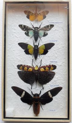 5 Real CICADA Insect Taxidermy Collection by THAICRAFT4YOUDOTCOM, $24.90