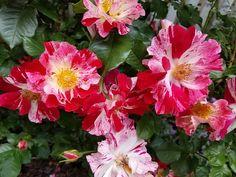 How Do You Prune Gardenia Bushes Gardenia bush Gardenias and Shrub