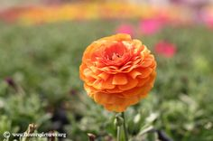 Picture of Orange persian buttercup, More flower pictures on this website! Persian Buttercup, Flower Pictures, Colorful Flowers, Rose, Image, Pink, Flower Photos, Roses, Floral Photography