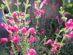 Native perennials with tubular flowers such as pink Skullcap (Scutellaria suffrutescens) and Autumn Sage (Salvia greggii) are favorites of native hummingbirds and bees. Blend a variety of perennial species to extend your bloom season and provide food for a wide array of native birds & insects.