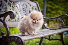 Adorable Pomeranian on a park bench