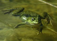 Freestyle frog  A frog swims in a pond in Tourrettes, southern France, on May 27