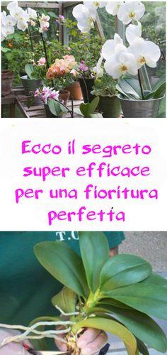 Rifiorire le orchidee: ecco il segreto super efficace per una fioritura perfetta | #giardinaggio #orchidee