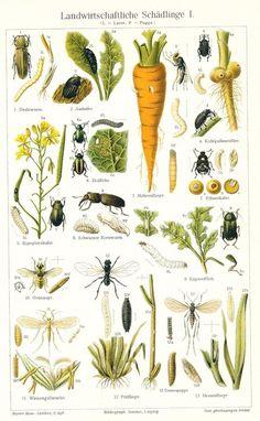 Aus einen Lexikon um das Jahr 1900 habe ich diese wunderbare Bildtafel: Landwirtschaftliche Schädlinge 1.     Es sind sehr schöne Illustrationen, die