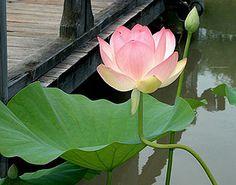 Foto da flor de lótus.Esta foto foi feita no Japão por AngélicaSpínola Yamaguchi . Enviada para o Baixaki