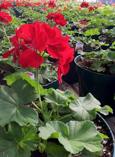 Geraniums..In my career I have grown thousands of geraniums...I have grown from seed and cutting and cutting geraniums are my favorite...much more harder...now the vegetative varieties are even nicer!
