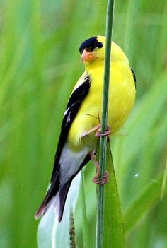 Acrobatic American Goldfinch