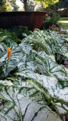 Caladiums and day lilies