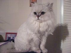 Most Expensive Cat Breeds | POPSUGAR Pets