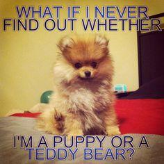 My sorority sister's adorable Pomeranian, Clark! #pomeranian #adorable #puppy #teddybear