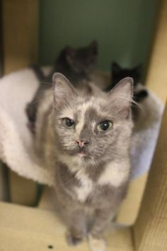 Meet Priss, a Petfinder adoptable Dilute Tortoiseshell Cat | Smyrna, GA | I am a beautiful Diluted Tortie. And believe me, my marbled coat is sure to catch you off guard....