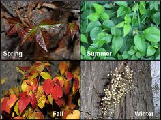 Poison Ivy - Know what it looks like every season. Good information linked here.