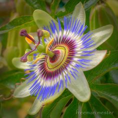 "Passion Flower--we have these growing beautifully on our porch. MLM calls them ""special flowers"""