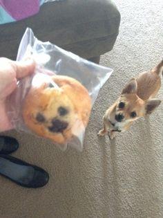 """""""Il muffin assomiglia incredibilmente al mio cane"""". Dopo aver notato la somiglianza tra il suo chihuahua e un muffin al mirtillo, l'utente californiana Kaelin ha postato su Tumblr la foto del cane accanto al dolcetto. In effetti, il colore del muffin e la disposizione della marmellata coin"""